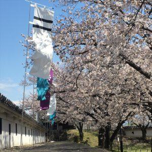 長岡京市の理容店 ヘアーサロンデュオ:勝竜寺城公園の桜